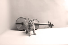 Kitten and a violin. British Shorthair kitten playing at the violin royalty free stock image
