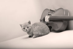 Kitten and a violin. British Shorthair kitten playing at the violin royalty free stock photo