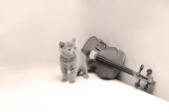 Kitten and a violin. British Shorthair kitten playing at the violin stock photo