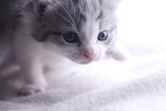 Kitten Walking Stock Image