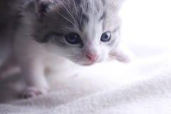 Kitten Walking. On a white blanket Stock Image