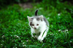 kitten walking Стоковые Изображения