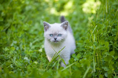 Kitten walking in clover Royalty Free Stock Images