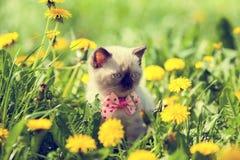 Kitten walking in dandelion lawn. Little kitten wearing bow tie walking in dandelion lawn Royalty Free Stock Photos