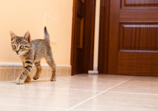 Kitten walking down the hall of a house Royalty Free Stock Images
