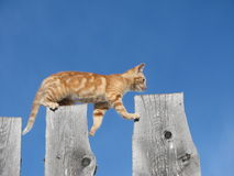 Kitten walking on fence. Side low angle view of ginger kitten walking over gaps on fence; blue sky background Royalty Free Stock Photo