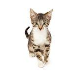 Kitten Walking Forward royalty-vrije stock afbeeldingen