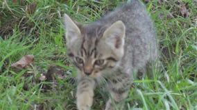 Kitten walking on grass stock video footage