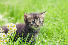 Kitten walking in the grass Royalty Free Stock Images