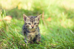 Kitten walking on the grass Stock Images