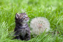Kitten walking on the grass Stock Images