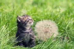 Kitten walking on the grass Royalty Free Stock Image