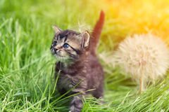 Kitten walking on the grass Royalty Free Stock Photo