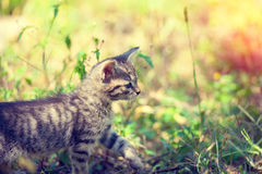 Kitten walking in the grass Royalty Free Stock Photos