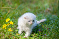 Kitten walking on the grass Royalty Free Stock Images