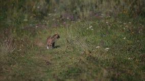 Kitten walking on the lawn stock footage