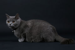 Kitten Walking mignonne Image stock