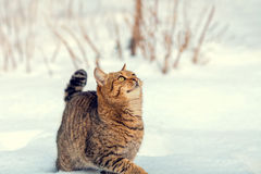 Kitten walking on the snow Royalty Free Stock Images