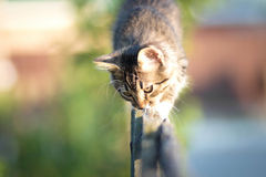 Kitten walking on a wooden fence Royalty Free Stock Photos