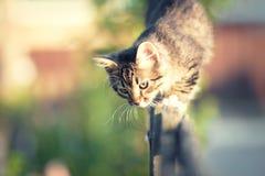 Kitten walking on a wooden fence Royalty Free Stock Photo