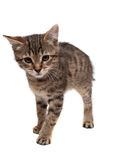 Kitten walks Royalty Free Stock Images