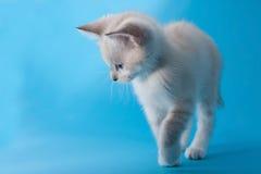 Kitten that walks Royalty Free Stock Image