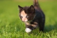 Kitten walks in the grass Stock Photography