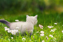 Kitten walks on green lawn Stock Images