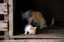 Kitten wandering away from mom Royalty Free Stock Photos