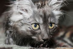 Kitten washes. Young kitty with big eyes , washes Royalty Free Stock Images