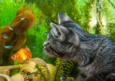 A kitten watches fishes in an aquarium. Royalty Free Stock Photos