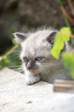 Kitten. Is watching Royalty Free Stock Photography