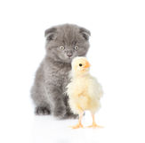 Kitten watching baby chicken. isolated on white background Stock Photo