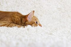 Kitten watching Royalty Free Stock Image