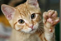 Kitten waving. Ginger kitten looking into the camera with his paw up, looks like he is waving stock photos