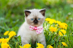 Kitten wearing bow tie Stock Photo