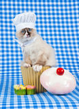 Kitten wearing chef outfit with cupcakes. Ragdoll kitten sitting in cupcake jar wearing a chef hat and scarf on checkered backdrop Royalty Free Stock Photos
