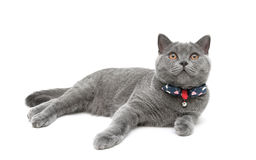 Kitten wearing a collar with a bow on a white background Royalty Free Stock Image