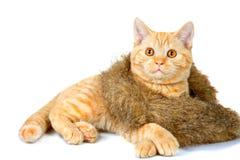 Kitten wearing fur scarf stock image