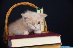 Kitten wearing glasses Stock Images