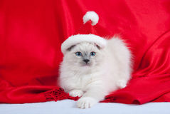 Kitten wearing a Santa hat. Ragdoll kitten wearing Santa hat against red background, with white paws stretched out Royalty Free Stock Photo