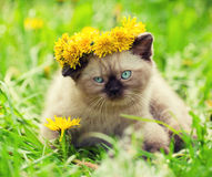 Kitten wearing a wreath of dandelions Royalty Free Stock Photography