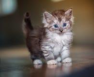 Kitten. A 5 week old kitten inside Royalty Free Stock Photo