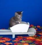 Kitten in wheelbarrow with fall leaves Stock Photos