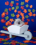 Kitten in wheelbarrow with fall leaves Royalty Free Stock Image
