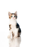 Kitten  on white backdrop Stock Image