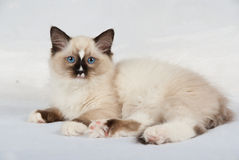 Kitten on white backdrop. Ragdoll kitten on white/silver background, showing off pink paw pads and blue eyes royalty free stock photo