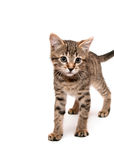 Kitten on white background Stock Images