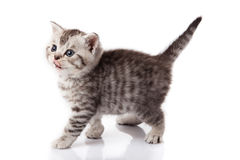 Kitten on a white background Royalty Free Stock Photography