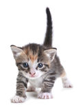 Kitten on White Background Royalty Free Stock Photo